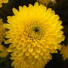 Chrysanthemum 'Sunny Ivis' Chrysanthemum thumb