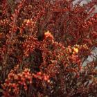 Solidago 'Painted Red' Solidago thumb