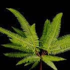 Broadleaf Umbrella Fern Sticherus thumb