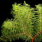 Coral or Star Fern Gleichenia spp. thumb