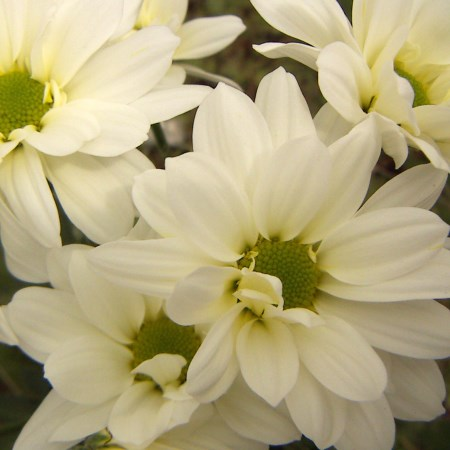Chrysanthemum 'White Arie Regan' Chrysanthemum