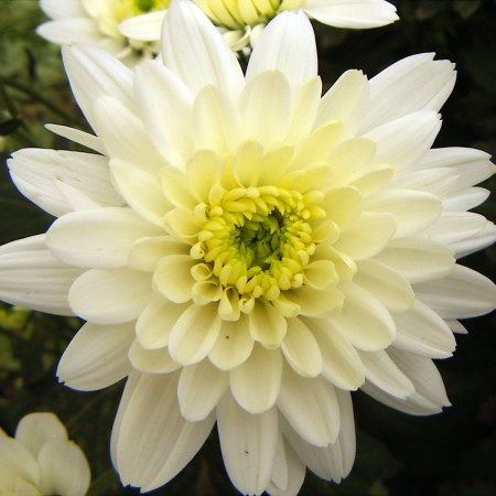 Chrysanthemum 'White Euro' Chrysanthemum