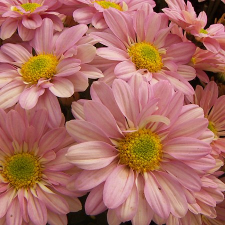 Chrysanthemum 'Dark Rosie Pink Regan' Chrysanthemum