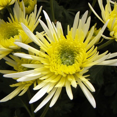 Chrysanthemum 'White Sheena' Chrysanthemum