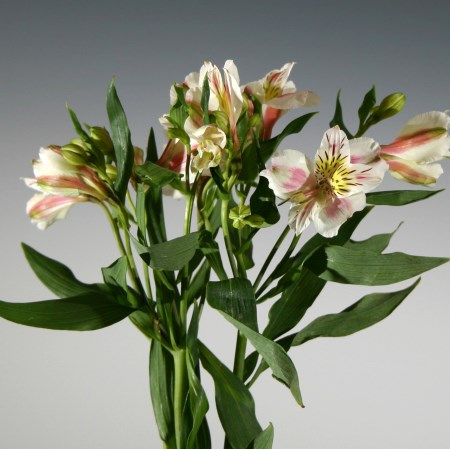 Alstroemeria 'white with a pale pink blush' Alstroemeria