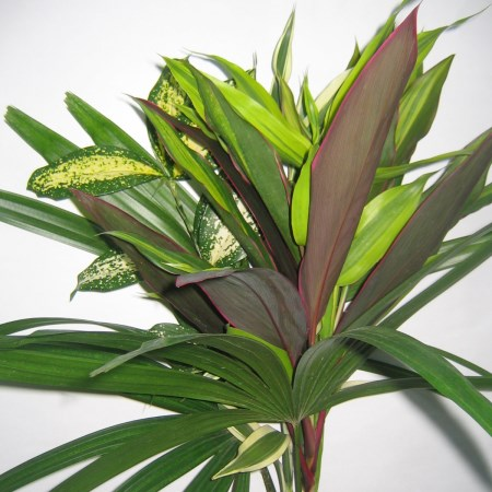 New Green Bouquet Dracaena