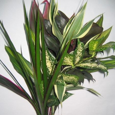 Tropical Mix Dracaena
