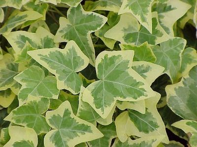 Ivy 'Gold' Hedera Helix  vars