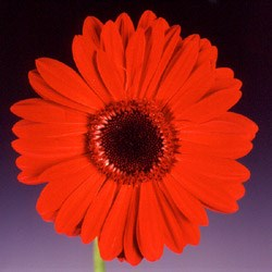 Gerbera 'Beauty' Gerbera