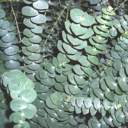 Eucalyptus Baby Blue Cut Foliage Sunflora