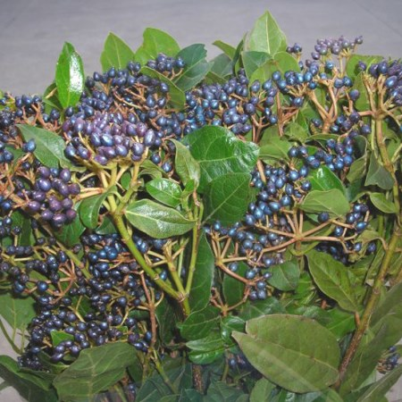 Viburnum 'Blue Berries'