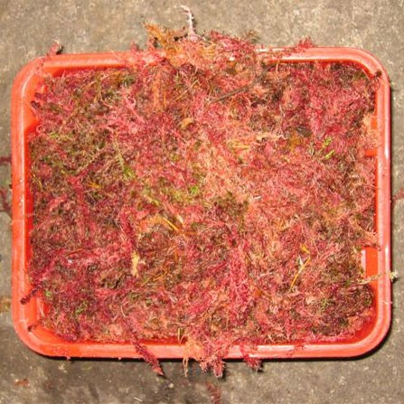 Spagnum Moss 'red'