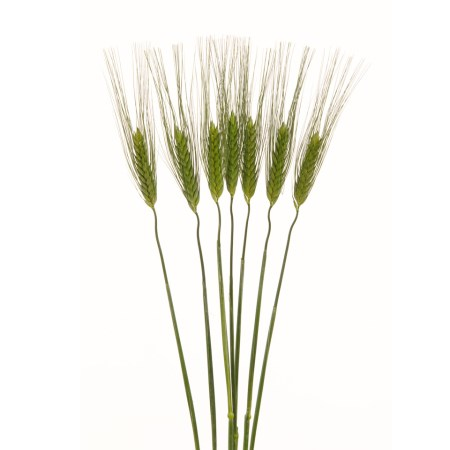 Green Wheat Triticum SPP