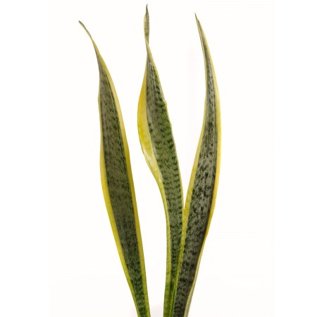 Sansevieria 'Snake Plant, Mother in Law's Tongue' Sansevieria Trifasciata