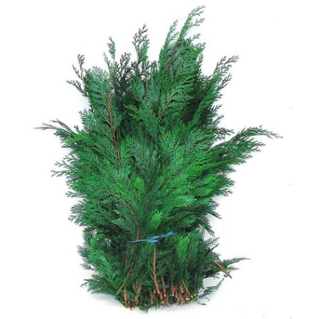 Conifer 50cm 'Blue'