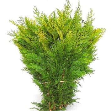 Conifer 'Yellow'