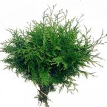 Conifer 'Tuja Plicata'