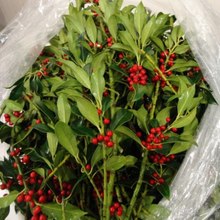 Holly 'with berries'