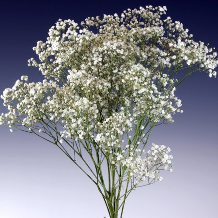 Gypsophila 'New Love' Gypsophila
