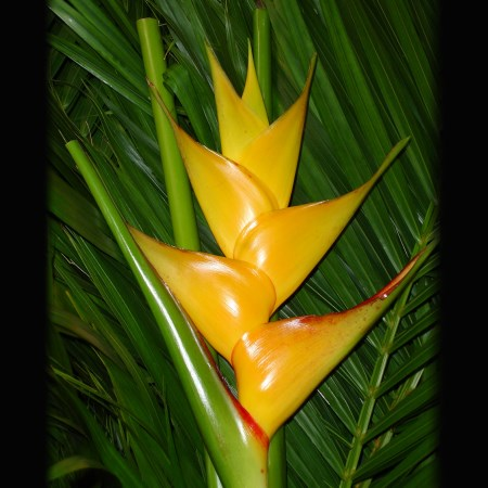Heliconia 'Gold' Heliconia