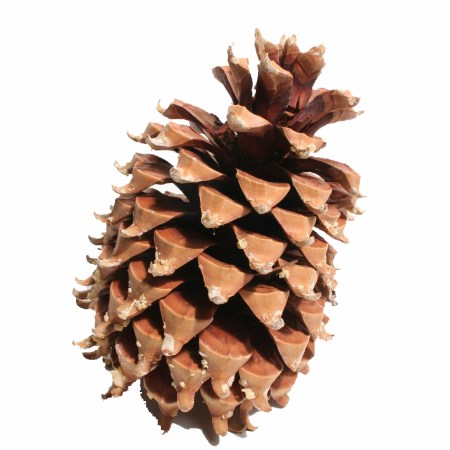 Coultier Pinecone 'Natural' 17-23cm