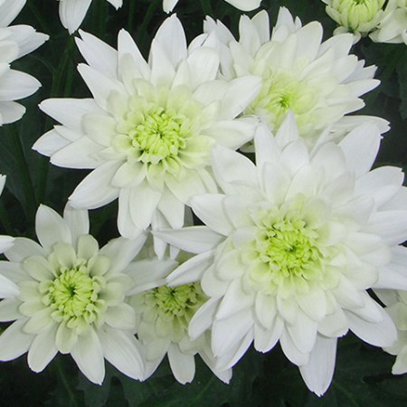 Chrysanthemum 'Euro' Chrysanthemum