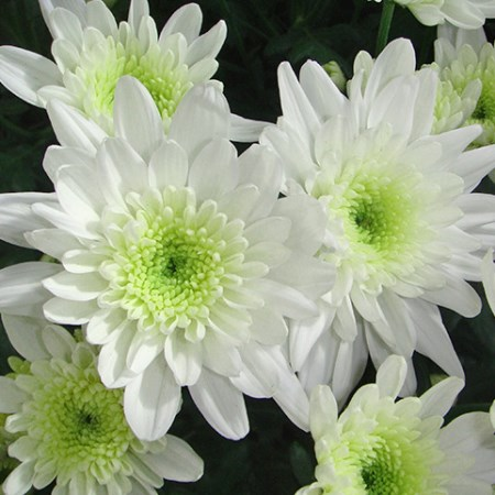 Chrysanthemum 'Ilvija' Chrysanthemum