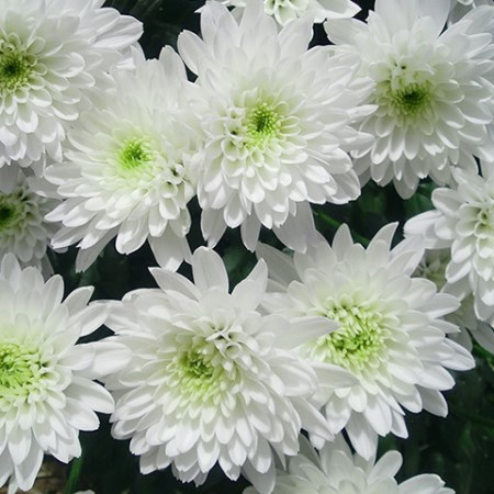 Chrysanthemum 'Zembla' Chrysanthemum