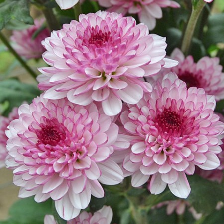 Chrysanthemum 'Lollipop' Chrysanthemum