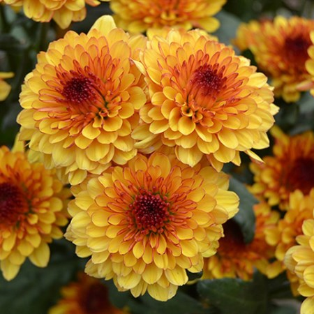Chrysanthemum 'Lollipop Yellow' Chrysanthemum