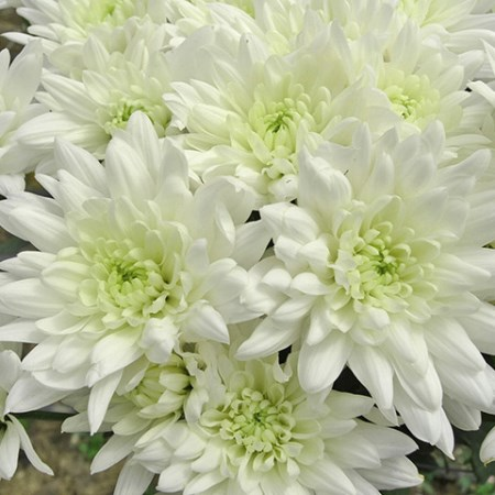Chrysanthemum 'Baltica' Chrysanthemum