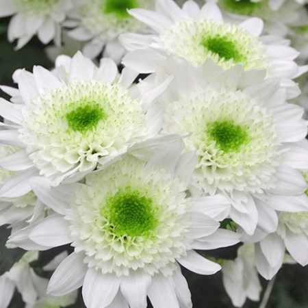 Chrysanthemum 'Codrico' Chrysanthemum