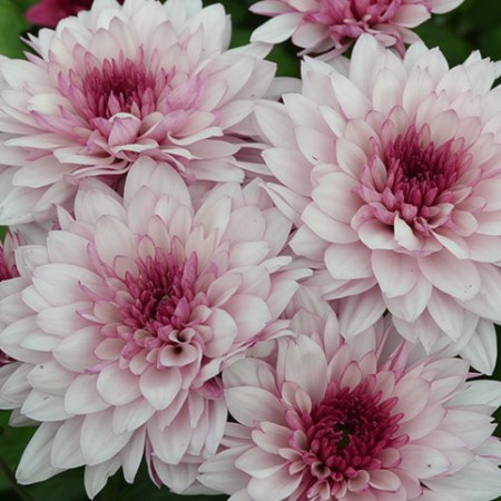 Chrysanthemum 'Dante' Chrysanthemum