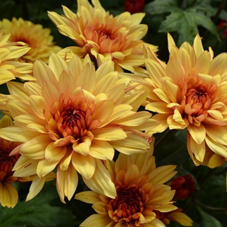 Chrysanthemum 'Dante Yellow' Chrysanthemum