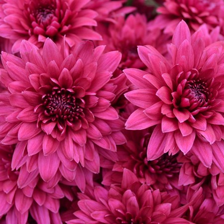 Chrysanthemum 'Dante Purple' Chrysanthemum