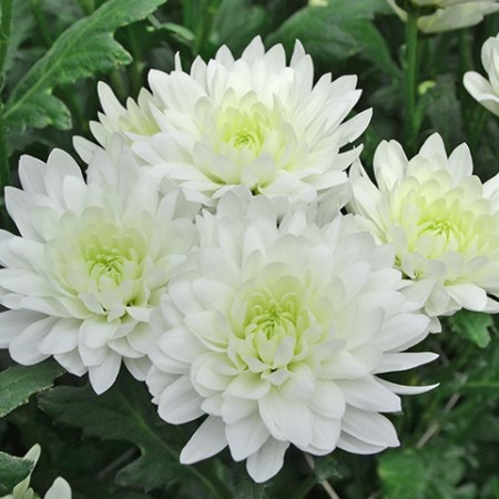 Chrysanthemum 'Fortune' Chrysanthemum