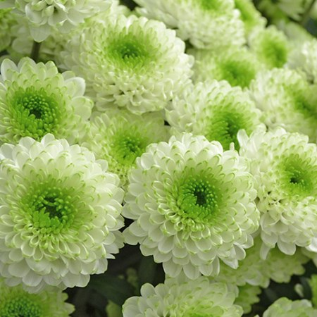 Chrysanthemum 'Skye' Chrysanthemum
