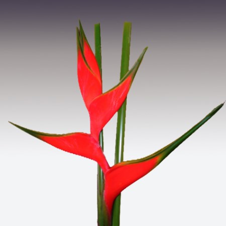 Heliconia 'Cruces-Adrian Red' Heliconia