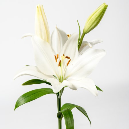 Lily 'LA White' Longiflorum