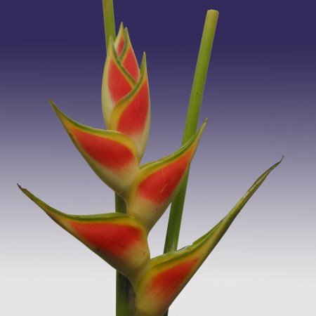 Heliconia 'wagneriana' Heliconia
