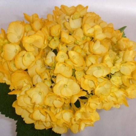 Hydrangea Tinted Fall Yellow Cut Flowers Sunflora