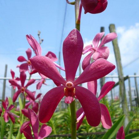 Mokara 'New Red' Orchidaceae