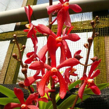 Aranda 'Top Red' Orchidaceae