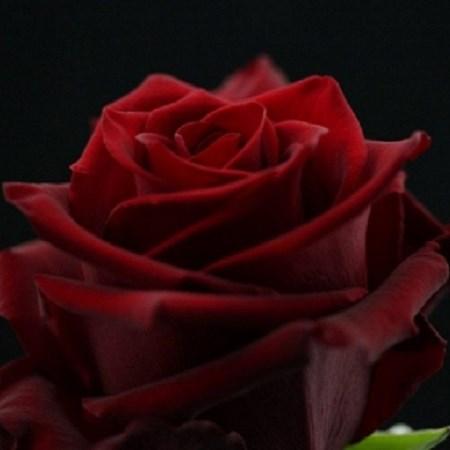 Rose Explorer Rosa Cut Flowers Sunflora