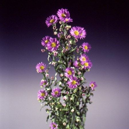 Aster 'Purple Monarch' Aster
