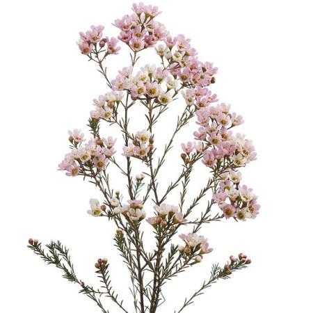 Wax Flower Revelation Chamelaucium Uncinatum Cut