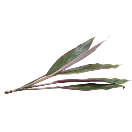 Cordyline Fruticosa 'Green & Red Edge'