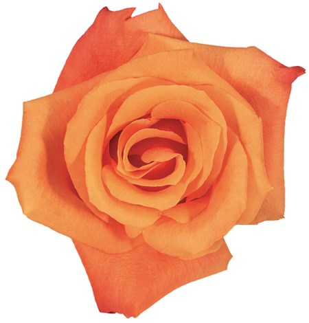Rose 'Orange Unique' Rosa