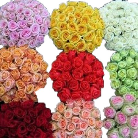 Rose 'Premium-Roses-Assorted' Rosa