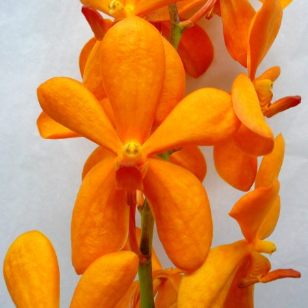 Orchid 'Mokara Small Orange Single' Orchidaceae